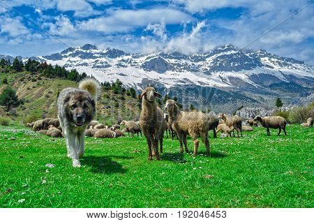 small ruminants in the mountains & spring and livestock