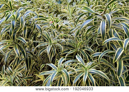 Horizontal image of lush, healthy ground cover of leaves in garden