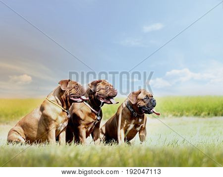 Bordeaux Dogs - French Mastiff - Grandmother And Mother And Daughter