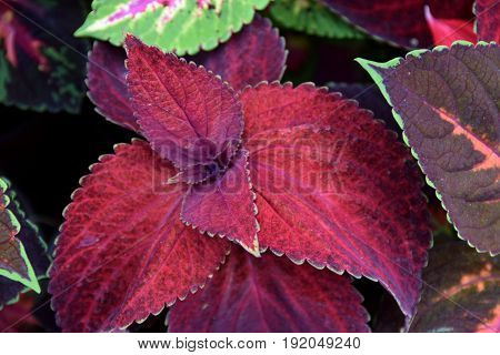Various hybrids of ornamental plant Coleus blumei, or Ornamental nettle