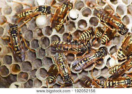 Vespiary. Wasps Polist. The Nest Of A Family Of Wasps Which Is Taken A Close-up.