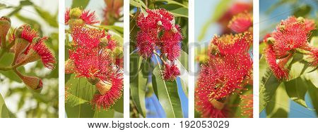Australian Panoramic nature banner with set of red eucalyptus flower photo elements in white frame