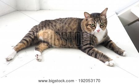 Fat cat cute has 3 colors She looking at font and slepping on stair white color.