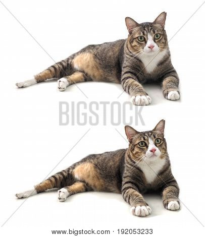 Fat cat gaze looking at font with some thing She has fluffy fur 3 color Photo animate 2 step of head moving isolate on white background .