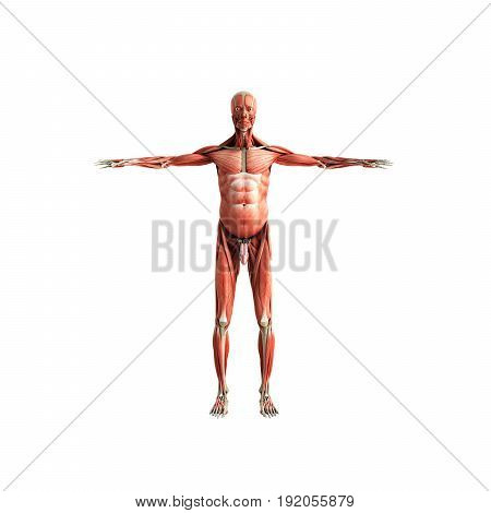 Human Muscle Anatomy 3D Render On White Front No Shadow