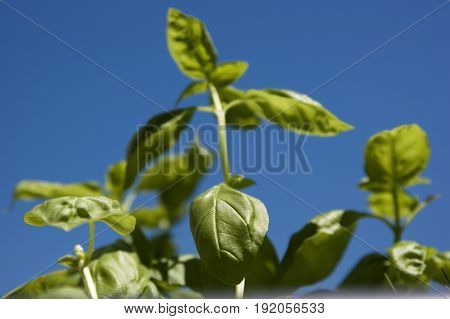 green basil leaves in low angle view on blue sky