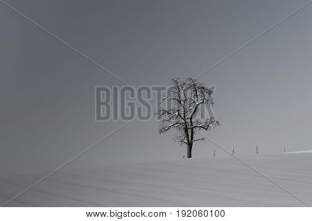 lonesome natural tree and fenceposts in winterlandscape with snow in black and white