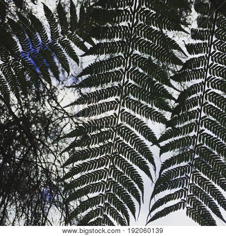 new zealand silver fern agains white/blue sky