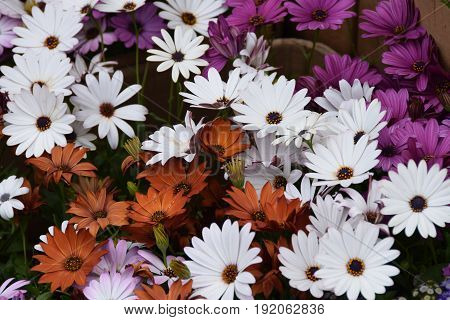 Cineraria and gazania flowers in the flower bed