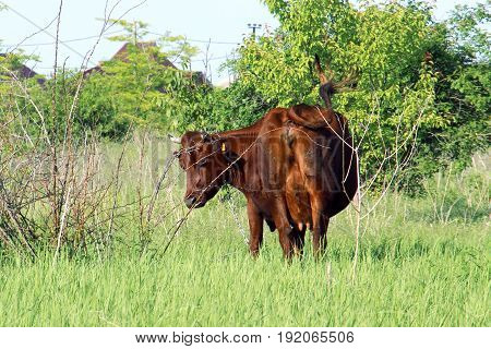 Redhead Cows In The Meadow With Tail Swinging