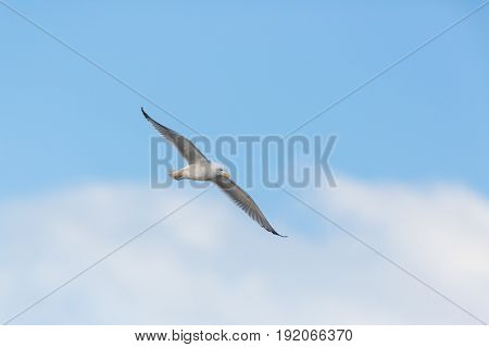 Yellow-legged Gull (larus Michahellis) In Flight With Blue Sky And Clouds