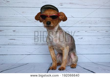Small dog in sitting position dressed with a cap and sunglasses