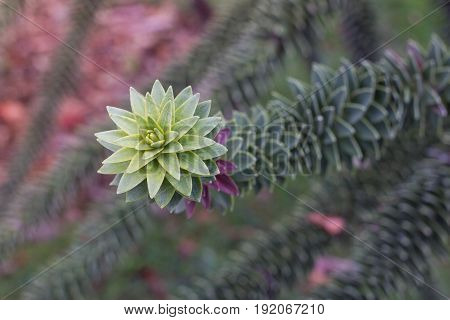 Araucaria araucana branch with green lakes. Macro photo of sharp prickly leaves.