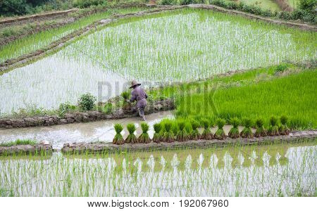 An unidentified man working in rice fields in Yuanyang county, Yunnan, China