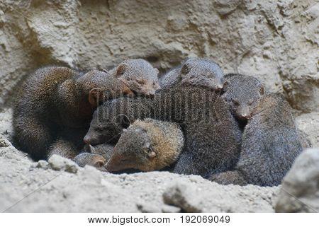 Large group of mongooses huddled together resting.