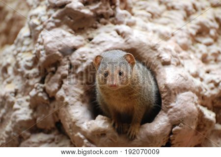 Dwarf mongoose peaking out of a burrow.