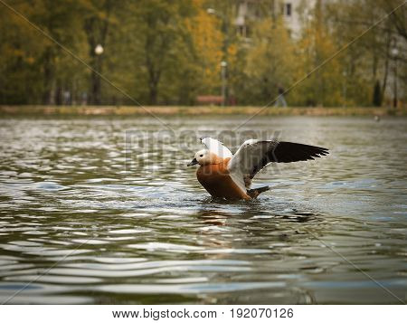 duck spreads its wings. Lake autumn sunlight