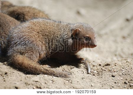 Really cute face of a dwarf mongoose in a sandy area.