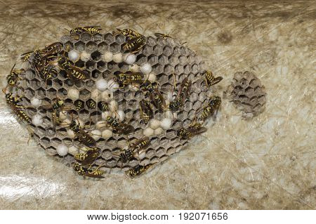 A nest of wasps under the protrusion of a roof
