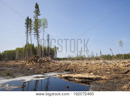 Logging aftermath in a forest in northern Saskatchewan Canada