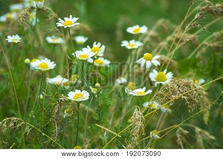 Chamomile officinalis . chamomile . Medicinal plant