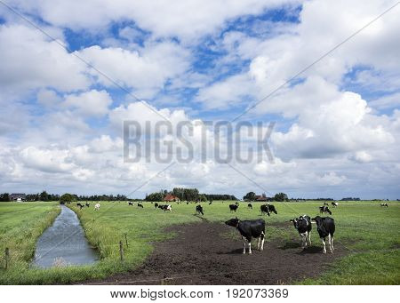 black and white cows in green grassy summer meadow near canal in dutch province of friesland near sneek in the netherlands