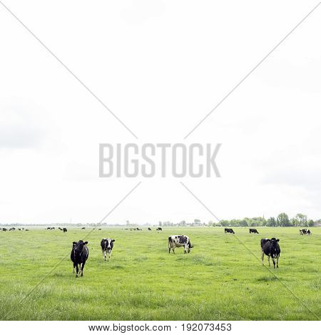 black and white cows in green grassy summer meadow in dutch province of friesland near Leeuwarden in the netherlands