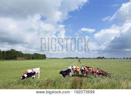 black and red white young cows in green grassy summer meadow in dutch province of friesland near Leeuwarden in the netherlands under blue sky