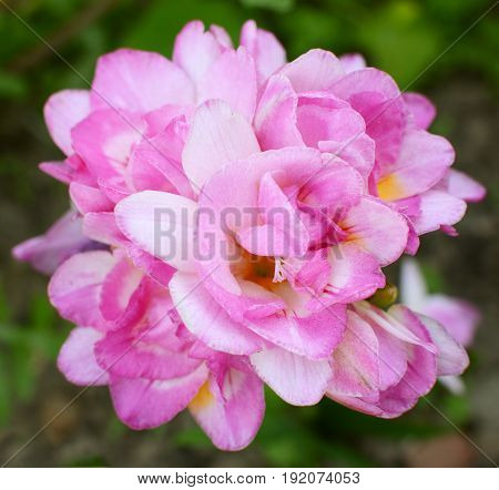 Dense Cluster Of A Pink Double Freesia Flowers