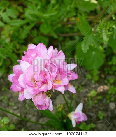 Pretty Pink Freesia Growing In A Flower Bed