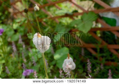 Fluffy White Anemone De Caen Seed Heads Unfurling