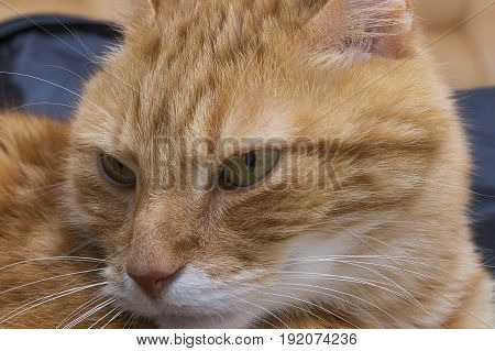 Red cat with big green eyes close up