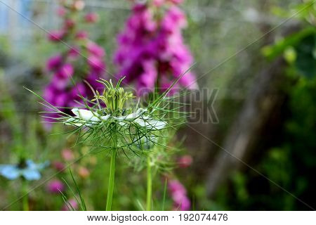 Delicate Nigella Flower Against Background Of Pink Foxglove