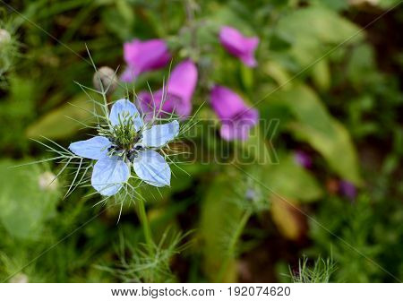 Pale Blue Nigella - Love-in-a-mist - Flower