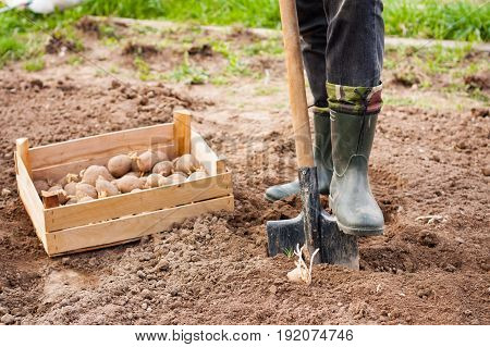 Planting Potatoes. Dig Ground. Leg Of Male Farmer In Rubber Boots With Shovel And Potato In Ground In Spring garden.