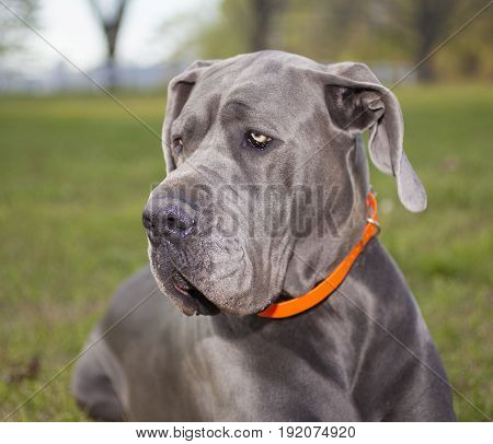 Purebred Great Dane laying on a green grass