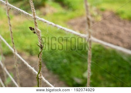 Tender runner bean plant tendril curls upward around twine netting in an allotment
