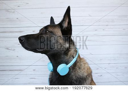 Belgian shepherd Malinois who plays the DJ with a headset audio around the blow