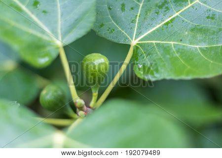 Horizontal closeup photo of a green fig ripening on a tree with another fig and the green leaves in soft focus in the background with dew on them