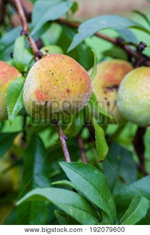 Vertical closeup of an organic peach ripening on a tree with several other peaches in soft focus in the background