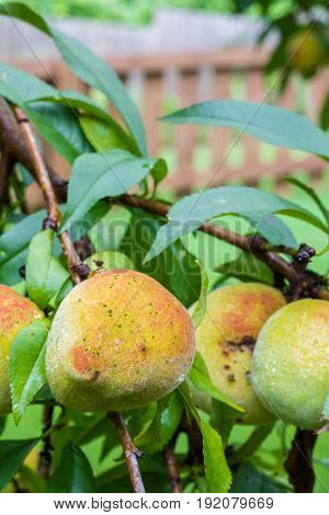 Vertical closeup of an organic peach ripening on a tree with several other peaches and a brown picket fence in soft focus in the background