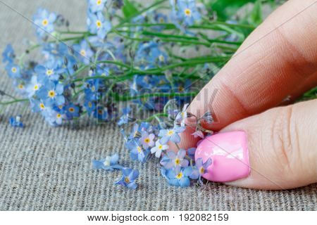 Forget me not flower in woman fingers