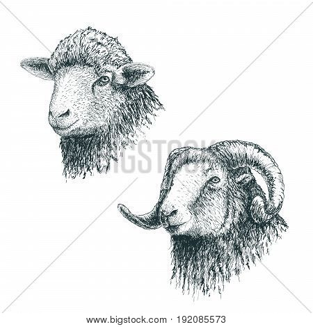 Horned ram and lamb.Set of sheeps.Hand drawn egraving style.Vector illustration