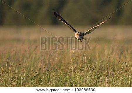Short Eared Owl Hunting over moorland in the evening