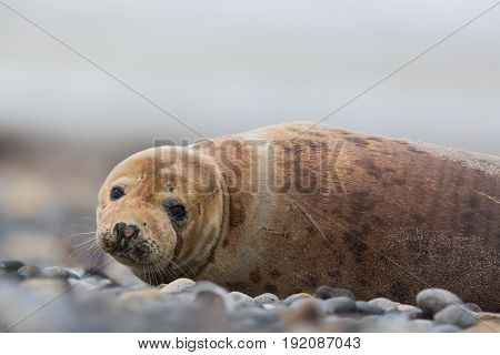 Portrait Of Young Gray Seal (halichoerus Grypus) With Scratches On Gravel Beach