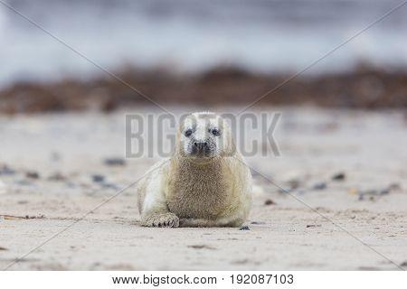 Pup Of Grey Seal (halichoerus Grypus) Crawling On Sand Beach