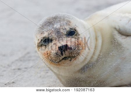 Portrait Of Young Common Seal (phoca Vitulina) Lying On Sand Beach