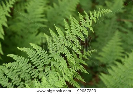 Natural fern fronds in a shade garden in nature