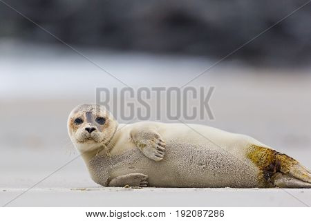Portrait Of Common Seal (phoca Vitulina) Lying On Sand Beach