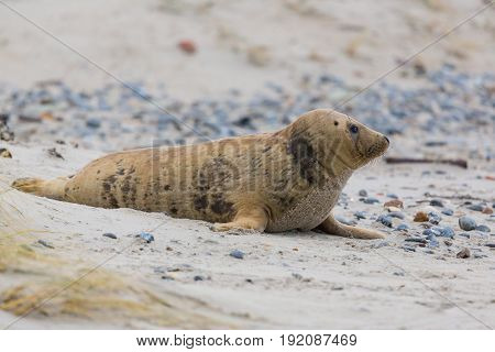 Side View Of Young Gray Seal (halichoerus Grypus) On Sand Beach